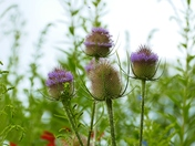 DELICATE THISTLE HEADS