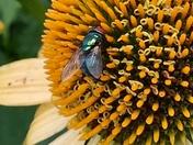 Insect enjoying the echinacea