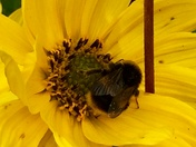 Buzzing bees love the sunflowers