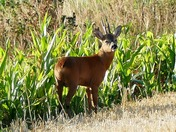 Deer seeks shade from the blazing sun.(photo challenge)