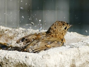 Young robin cools off during the heatwave.