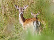 Fallow deer in a meadow