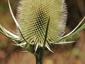 Teasels (Dipsacus fullonum)