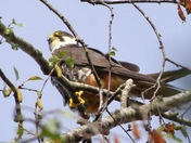 Hobby at the top of a tree