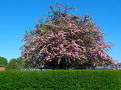 COLOURFUL CHERRY TREES AT  WILLIAMS WAY SCHOOL, THORPE ST.ANDREW