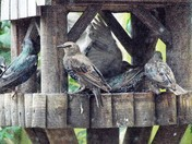 YOUNG STARLINGS ( PART 18 ), ON THE TABLES, ON THE  ROOF, AND ONTHE FENCE.