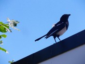 "MAGPIE ""A FEATHER OUT OF PLACE"""
