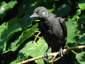 IMAGES OF ATHE JACKDAW