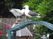 GULLS IN THE GARDEN