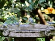 Today the garden's full of young bluetits