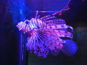 Colourful: Lionfish