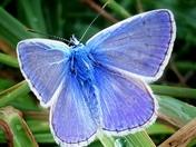 Pair of 'Adonis Blue' butterflies.