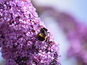 Buddliea pollen