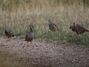 Red Legged Partridges
