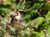 Goldfinch on Spear Thistle