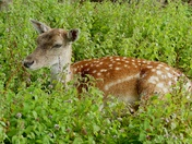 Beautiful Fallow deer at Earsham Wetland Centre.