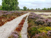 Heather on the parched Westleton Heath.