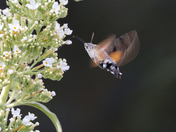 A Hummingbird Moth