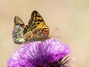 A pair of Frittilerie Butterflies