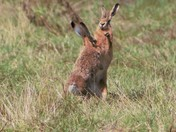 August boxing Hares