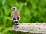 Young Goldfinch