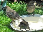 "YOUNG STARLINGS -PART 20 ""looks like summer"""