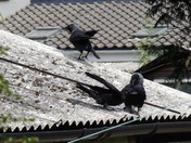 NEWLY FLEDGED JACKDAW ALONG WITH ITS MOTHER.