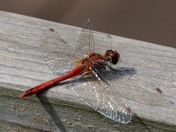 Dragonflies and Damselflies at Strumpshaw fen