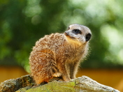 MEERKAT AT BANHAM ZOO