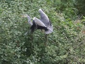 heron looking for breakfast
