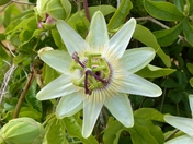 SYMMETRICAL. PASSION FLOWER