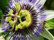 Passion flower with a Hover fly