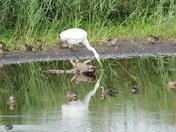 Egret at Strumpshaw Fen