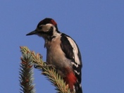 My friendly woodpecker (Great Spotted Woodpecker)