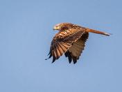 Red Kites at Strumpshaw