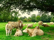 Cows in Burgh