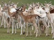 Deer at Houghton Hall