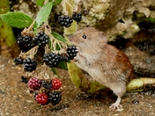 Summer Ends with blackberry feast for vole.