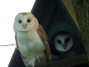 Owlets waiting for food