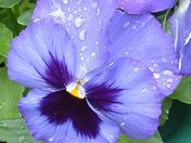 Drops of Water on Pansy
