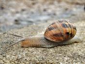 Cornu aspersum (Garden Snail)