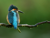 Kingfisher in the morning