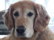 Livvy the Golden Retriever