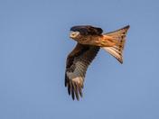 Red Kites at Buckenham