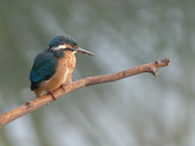 Early Morning Kingfisher