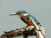 Kingfishers showing well at Lackford Lakes.