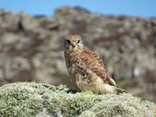 A young kestrel waiting for a meal
