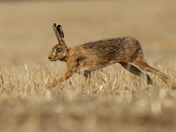 Hare on the stubble.