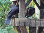 Although many Jackdaws have now departed the area to visit the farmlands around