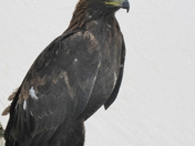 Golden Eagle at Stonham Barns Falconry Fair